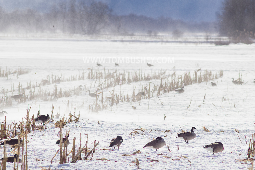 Wawayanda, New York - Strong winds blow snow in the distance  as Canada geese feed in a cornfield on Jan. 30, 2015