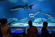 Beijing Aquarium. Chinese sturgeon (Yangzi River sturgeon).