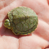 Red Eared Slider Turtle on palm of hand