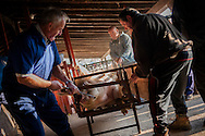 A professional butcher (in blue overalls) holds the pig with a hook to be slaughtered in traditional way.  Doneztebe (Basque Country). December 08. 2016. The slaughter traditionally takes place in the autum and early winter and the work often is done in the open. (Gari Garaialde / Bostok Photo)