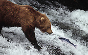 Grizzly bear (brown bear), McNeil River State Game Sanctuary, Kamishak Bay, Alaska. Endangered species. This salmon having a bad day. Climate change affecting migration of salmon, primary food source for these bears.