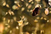Water flea (Daphnia sp) Germany | Wasserfloh (Daphnia sp); Wasserflöhe, Daphnie, Daphnien; Selent, Deutschland