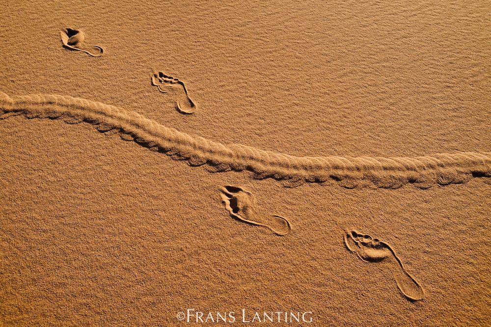 Golden mole tracks, Eremitalpa granti, crossing human footprints in sand, Namib-Naukluft National Park, Namibia