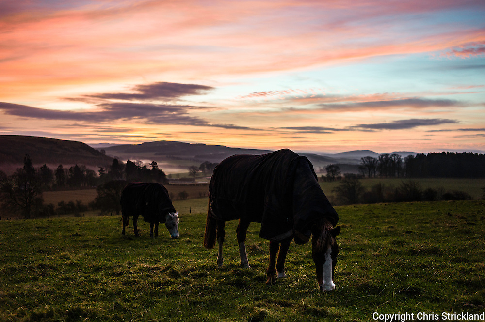 Oxnam, Jedburgh, Scottish Borders, UK. 14th December 2015. Horses graze at sunrise in the village of Oxnam near the Anglo Scot border. © Chris Strickland / Alamy Live News