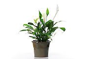 Spathiphyllum cochlearispathum (Peace Lily) on white background