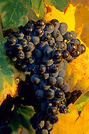 Grapes on the vine in fall at sunset, Silverado Trail, Napa Valley, Napa County, CALIFORNIA