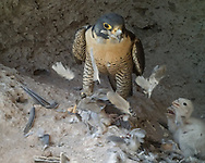 Feathers plucked from a mourning dove blow up and stick to adult peregrine falcon's beak as she prepares to feed 8-day-old nestlings. © 2013 David A. Ponton [photo by motion-activated camera, low-resolution limits repro. size]