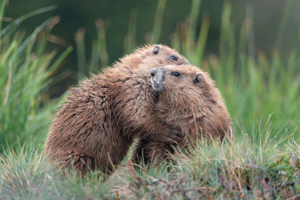 Returning after foraging for grasses, an olympic marmot gives his mate a hug, Olympic National Park, Washington
