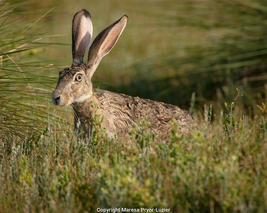 Black-tailed  Jackrabbit<br /> Lepus californicus<br /> Welder flats, Texas