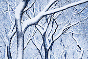 Trees in Central Park, New York City, during a winter snowstorm.
