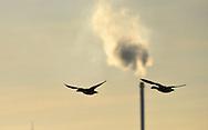 Brent Goose - Branta bernicla