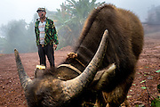 A Jinuo man watches over his buffalo in Basa village, Xishuangbanna, China. The Jinuo are an ehtnic minority found in western China.