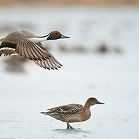 northern pintail drake in flight above hen sitting on ice