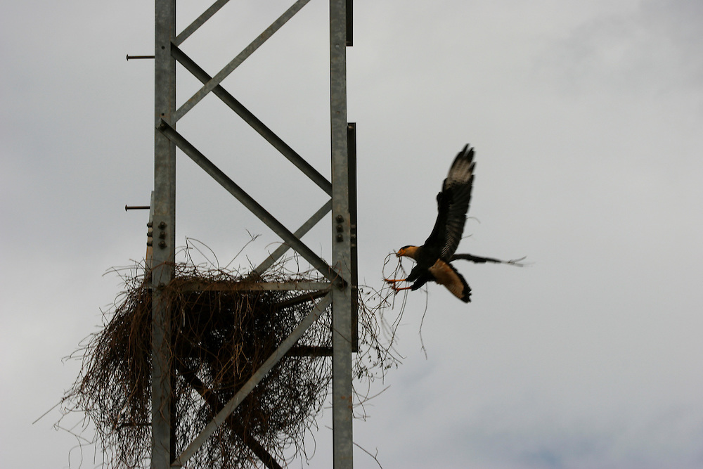 March 1st 2006, Campo Novo do Parecis Municipality. Crested Caracara (Polyborus plancus) nesting on a power line post surrounded by soy fields: there are no more trees nearby for the birds to use...©Daniel Beltra