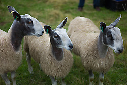 © Licensed to London News Pictures. <br /> 13/08/2014. <br /> <br /> Danby, North Yorkshire, United Kingdom<br /> <br /> Sheep wait in a pen during the Danby Agricultural Show in North Yorkshire. <br /> <br /> This year is the 154th show which was founded in 1848. It is the oldest agricultural show in the area and offers sheep dog trials, judging of a variety of different animals such as cattle, sheep, ferrets, horses and rabbits along with different classes of horticulture and dairy. <br /> <br /> Photo credit : Ian Forsyth/LNP