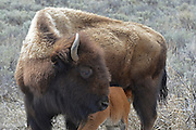USA, Wyoming, Bison Cow and Calf, Yellowstone National Park