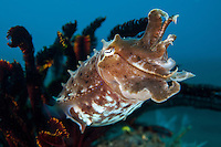 A cuttlefish seeks cover in the arms of a feather star<br /> <br /> Shot in Indonesia