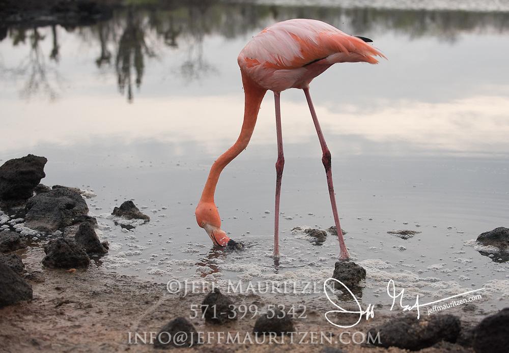 An American flamingo feeds in a brackish lagoon at Cerro Dragon in Santa Cruz island in the Galapagos archipelago of Ecuador.