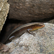 Common Sun Skink (Eutropis multifasciata), also known as Many-lined Sun Skink, Many-striped Skink. A common sight at Thailand's forests and streams.