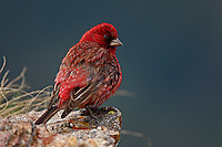 Russia, Caucasus. Great Rosefinch, Carpodacus rubicilloides, endemic species for Caucasus. Old male. Mount Cheget.