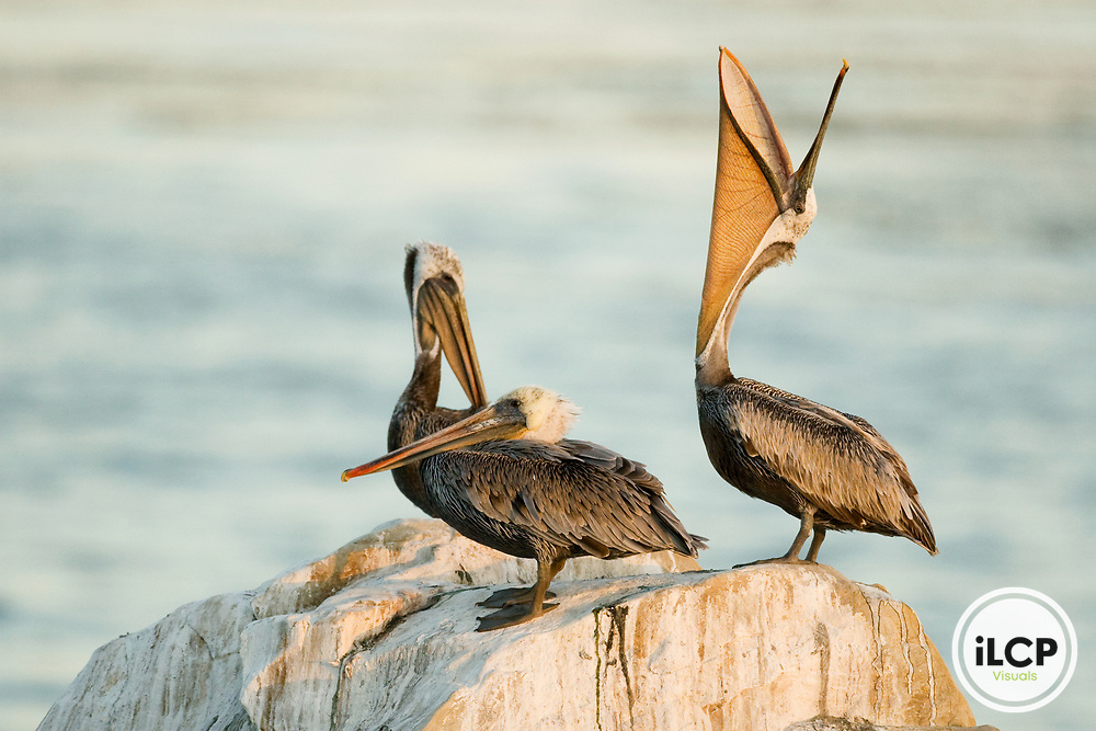 Brown Pelican (Pelecanus occidentalis) stretching its neck which shows of its gular throat pouch, Santa Cruz, Monterey Bay, California