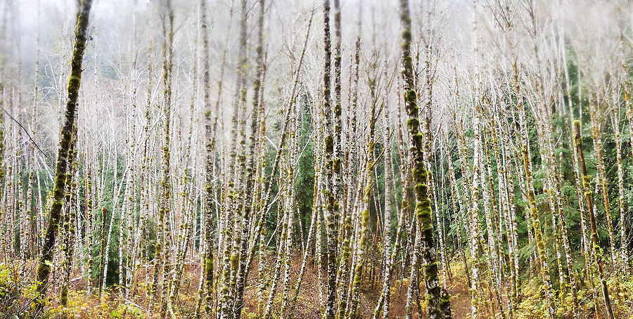 Dense stand of red alder (Alnus rubra) trees, Boulder River Trail, Mount Baker-Snoqualmie National Forest, Washington.