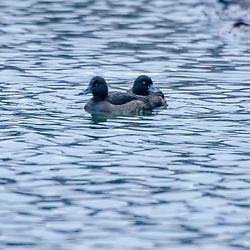"""Zarro-negrinha (Aythya fuligula) fotografado na Alemanha, na Unição Européia - Europa. Registro feito em 2016.<br /> ⠀<br /> <br /> ENGLISH: Tufted duck photographed in Germany, in European Union - Europe. Picture made in 2016."""