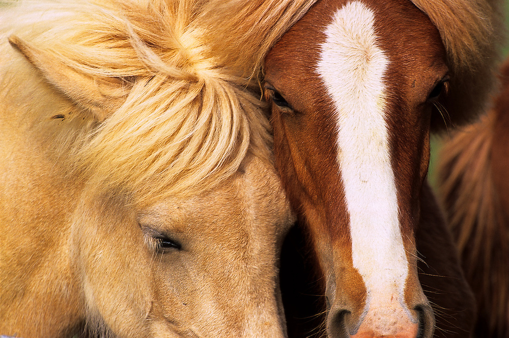A pair of icelandic horses share an intimate moment