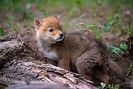 Coyote puppy looks over its shoulder as it explores on its own away from the den, [captive, controlled conditions] © 1999 David A. Ponton