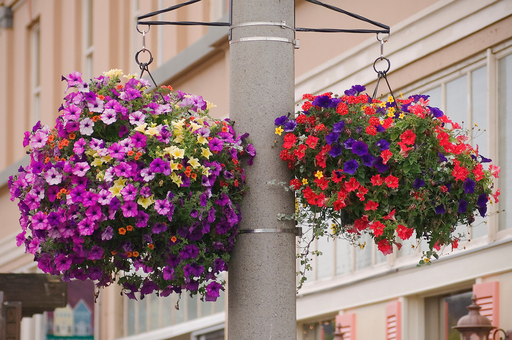 Petunias in hanging flower baskets on Broadway Street in Seaside, Oregon..