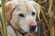 Close-up of an old Yellow Labrador Retriever during a Manitoba hunt.