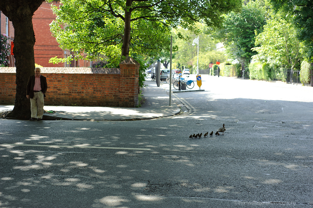 A Mother duck guides her young chicks across the street on Adelade Road as they head to the canal.
