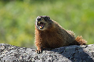 Yellow-bellied marmots live in large colonies where at least one member of the extended family keeps watch at all times.  If the sentinel senses danger, he emits a loud chirp to alert other members of the colony of the impending threat.
