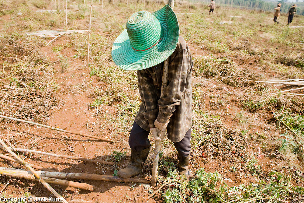 """25 FEBRUARY 2008 -- MAE SOT, TAK, THAILAND: A 14 year old Burmese boy works in a tomato field near Mae Sot, Thailand. He said he makes about $1.50 (US) per day. His father, who works at the same farm, makes about $2.00 (US) per day. Almost all of the farm workers in the Mae Sot area are Burmese migrants, who work for about half of what Thai farm workers are paid. There are millions of Burmese migrant workers and refugees living in Thailand. Many live in refugee camps along the Thai-Burma (Myanmar) border, but most live in Thailand as illegal immigrants. They don't have papers and can not live, work or travel in Thailand but they do so """"under the radar"""" by either avoiding Thai officials or paying bribes to stay in the country. Most have fled political persecution in Burma but many are simply in search of a better life and greater economic opportunity.  Photo by Jack Kurtz"""