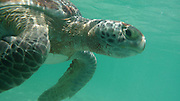 Green Sea Turtle, Kaneohe Bay, Oahu, Hawaii