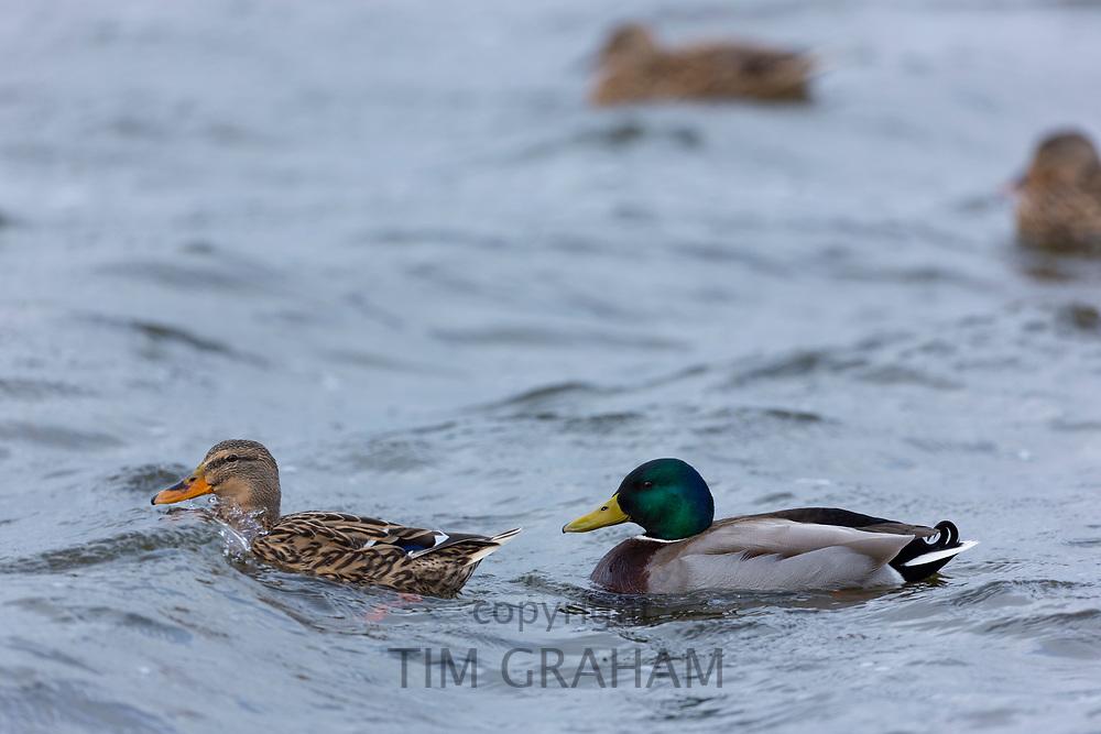 Duck and drake - Mallard, Anas platyrhynchos at Welney Wetland Centre, Norfolk, UK