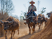 Country man riding a buffalo in Myanmar
