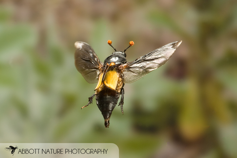Nicrophorus carolinus: Hexapoda: Coleoptera: Silphidae; Carrion Beetle or Sexton Beetle; in flight; high speed flash <br /> TEXAS: Lamar Co.<br /> Camp Maxey National Guard; Austin<br /> 2-Oct-2008<br /> J.C. Abbott