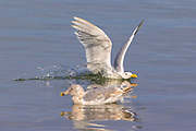 A hybrid gull splashes down next to another on the water of Port Gardner in Everett, Washington.