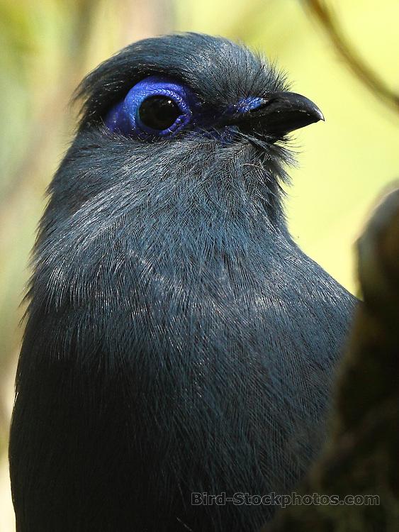 Blue Coua, Coua caerulea, portrait, Madagascar, by Markus Lilje