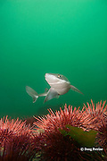 spiny dogfish, piked dogfish, spurdog, or dog shark,  Squalus suckleyi (formerly Squalus acanthias ), swims over red sea urchins, Strongylocentrotus franciscanus, Quadra Island off Vancouver Island, British Columbia, Canada