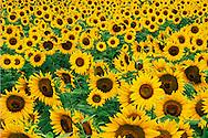 Field of sunflowers, Frankfort, Kentucky