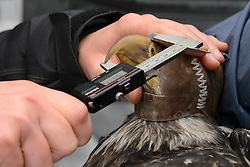 "Rachel Wheat, a graduate student at the University of California Santa Cruz uses calipers to take length and depth measurements of the beak of a bald eagle (Haliaeetus leucocephalus) captured in the Alaska Chilkat Bald Eagle Preserve. In this photo she is determining the culmen length. Beak measurements and toe claw (hallux) length are two measurements that help determine the gender of a bald eagle. Female bald eagles typically have larger beaks, feet and talons. This reversal of gender size is called reverse sexual size dimorphism. Wheat is conducting a bald eagle migration study of eagles that visit the Chilkat River for her doctoral dissertation. She hopes to learn how closely eagles track salmon availability across time and space. The bald eagles are being tracked using solar-powered GPS satellite transmitters (also known as a PTT - platform transmitter terminal) that attach to the backs of the eagles using a lightweight harness. The latest tracking location data of this bald eagle known as ""2Z"" can be found here: http://www.ecologyalaska.com/eagle-tracker/2z/ . During late fall, bald eagles congregate along the Chilkat River to feed on salmon. This gathering of bald eagles in the Alaska Chilkat Bald Eagle Preserve is believed to be one of the largest gatherings of bald eagles in the world."