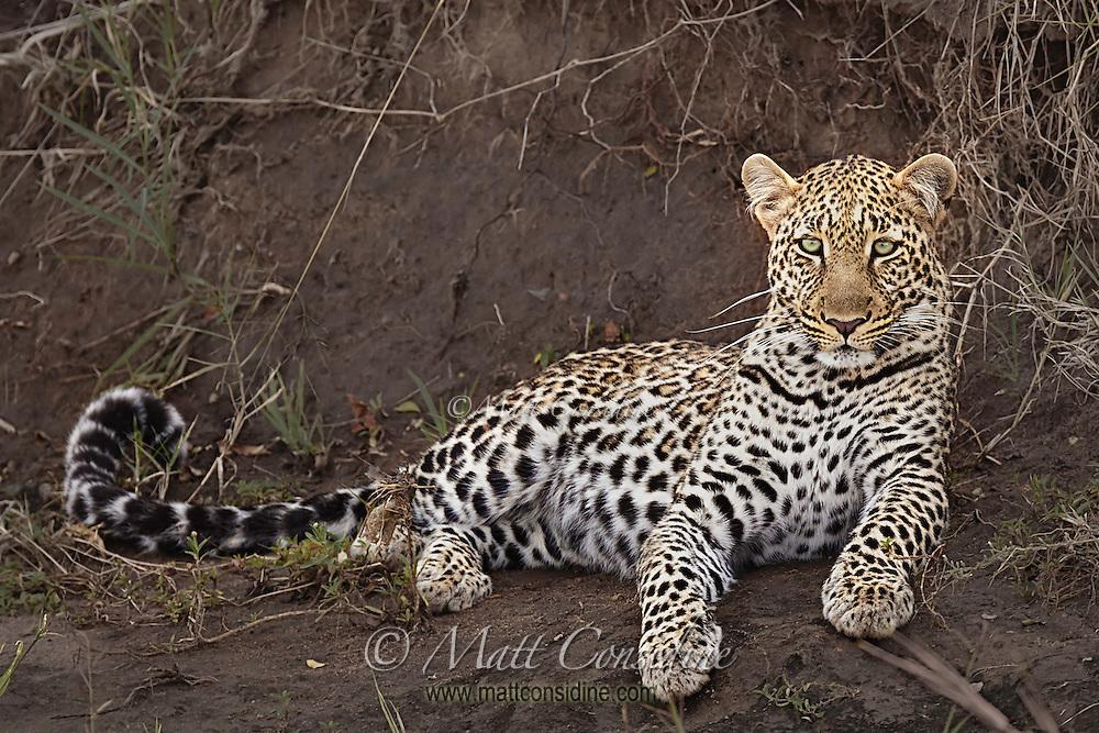 Leopard resting on a river bank in the Masai Mara Reserve, Kenya, Africa (photo by Wildlife Photographer Matt Considine)