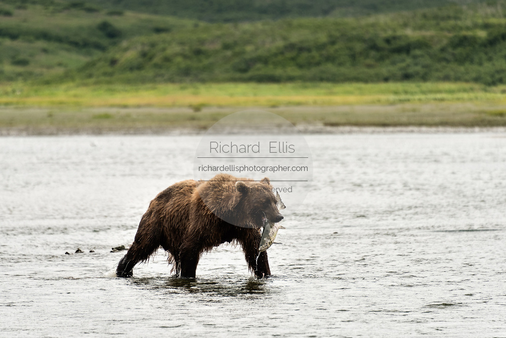 A Brown bear boar carries a large chum salmon captured in the lower river at the McNeil River State Game Sanctuary on the Kenai Peninsula, Alaska. The remote site is accessed only with a special permit and is the world's largest seasonal population of brown bears in their natural environment.