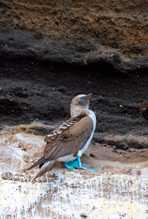 South America, Ecuador, Galapagos Islands. Blue-footed Booby at Punta Vicente Roca, Isabela Island.