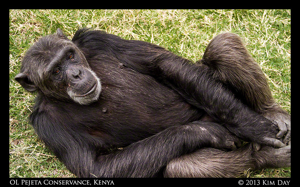 Chimpanzee Relaxing In Grass <br /> Sweetwater's Chimpanzee Sancturary - OL Pejeta<br /> September 2012 - Kenya