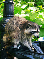 I came across this guy this afternoon in Central Park.  Raccoons are supposed to be nocturnal, but this one seemed to be hungry for a mid-day snack.