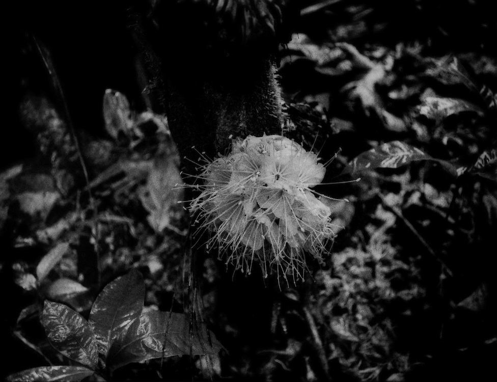 Brilliant rainforest flower (Brownea Macrophylla) sprouts from the trunk of a tree, typical in the rainforest, in the controversial ITT core zone of Yasuni National Zone.  Ecuador.<br /> <br /> President Rafael Correa proposed to forbid drilling for petroleum in this core area as part of his Yasuni-ITT Initiative in 2007, if and only if international donors raised US$3.6 billion, equal to half the value of the estimated reserves lying below this bio-hotspot.  (Drilling for oil is already taking place in other areas of Yasuni National Park.)  The initiative failed spectacularly as only US$13 million were raised.  The Yasuni-ITT Initiative, through which the Ishpingo, Tambococha, Tiputini Rivers run, was terminated on 15 August 2013.  Although 78% - 90% of Ecuadorians opposing drilling in this sensitive environment, the government has begun to let oil companies in.