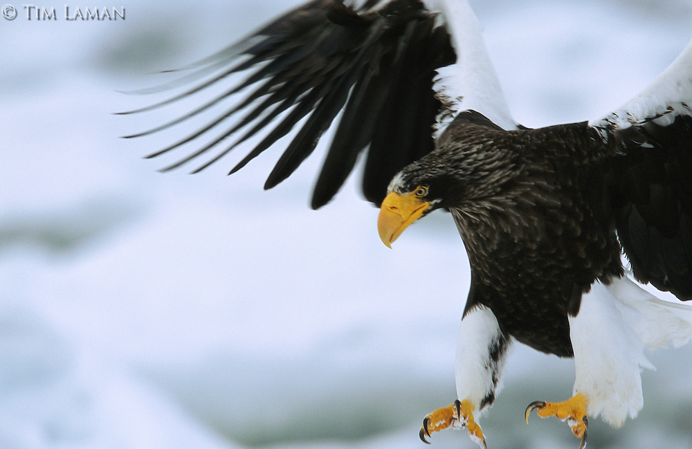 A Steller's sea eagle (Haliaeetus Pelagicus) in flight, preparing to land.
